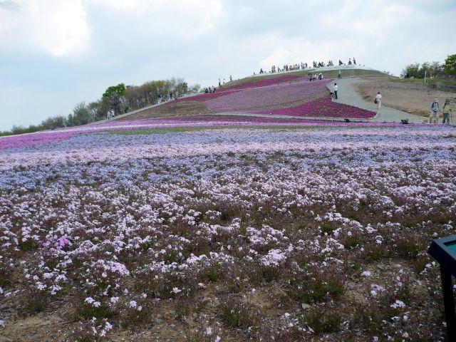 芝桜・茶臼山高原の写真